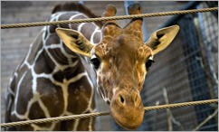 marius-the-giraffe-copenhagen-zoo